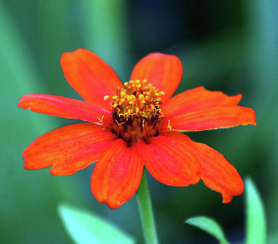 Photograph - Orange Blossom 3055 H_2 by Steven Ward
