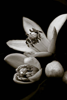 Photograph - Orange Blossoms by Frank Tschakert