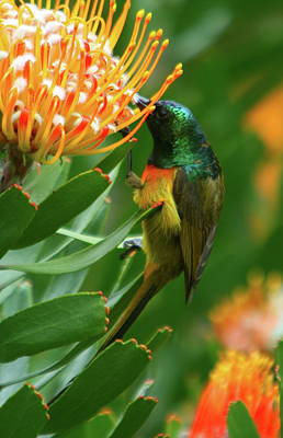 Orange-breasted Sunbird Feeding On Protea Blossom Art Print by Bruce J Robinson