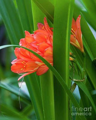 Photograph - Orange Brilliance Peeking Out Between The Leaves by Kirt Tisdale