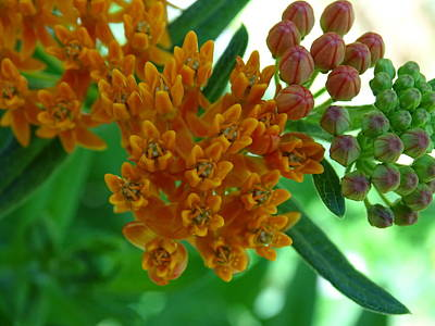 Photograph - Orange Butterfly Bush by Mary Halpin