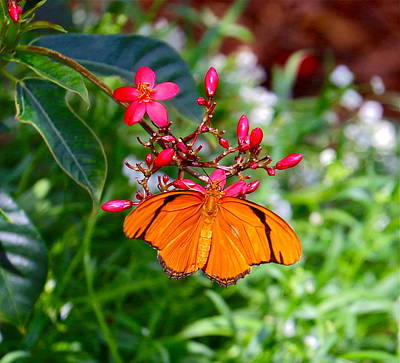 Photograph - Orange Butterfly by Denise Mazzocco