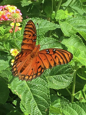 Photograph - Orange Butterfly   by Matthew Seufer