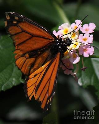 Photograph - Orange Butterfly On Pink Flowers by Bill Woodstock