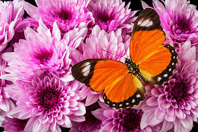 Pom Photograph - Orange Butterfly On Pink Poms by Garry Gay