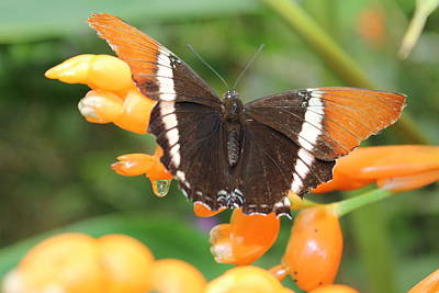 Photograph - Orange Butterfly by Samantha Delory