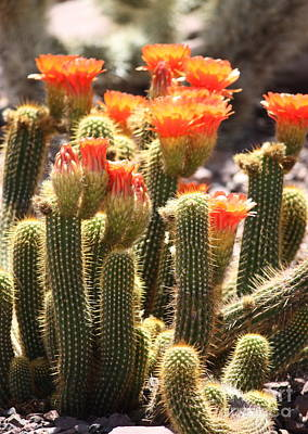 Photograph - Orange Cactus Blooms by Carol Groenen