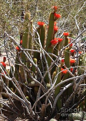 Photograph - Orange Cactus Blossoms Entangled by Carol Groenen