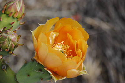 Orange Cactus Flower Art Print by Jon Rossiter