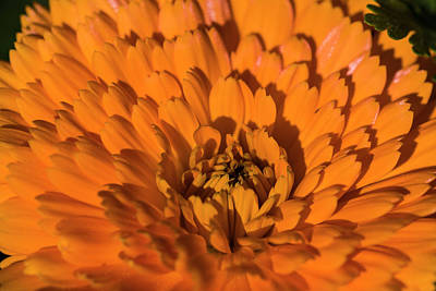 Photograph - Orange Calendula by Robert Potts