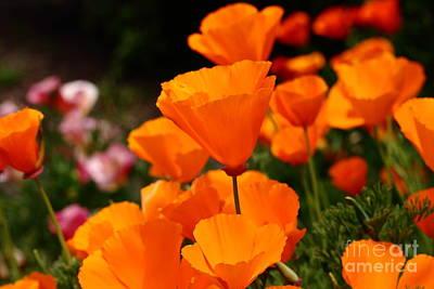 Orange California Poppy . 7d14755 Art Print