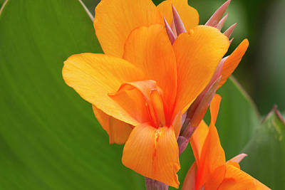 Orange Canna Lily Original