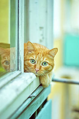 Ginger Cat Photograph - Ginger Cat  by Oksana Ariskina