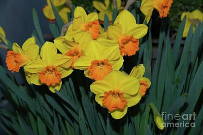 Orange-centered Daffodils Art Print