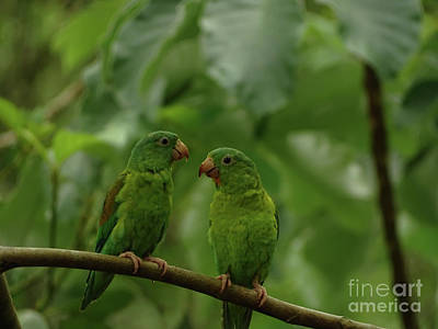 Orange-chinned Parakeets-  Art Print