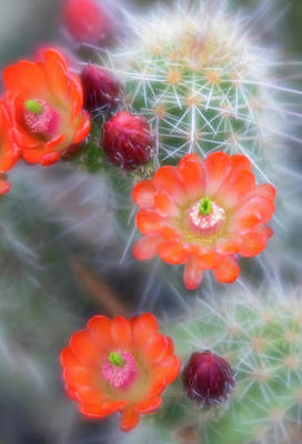 Photograph - Orange Claret Cup Cactus Flowers by Barbara Rogers Nature Inspired Art Photography