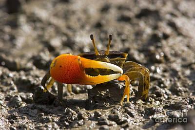 Orange-clawed Fiddler Crab Art Print