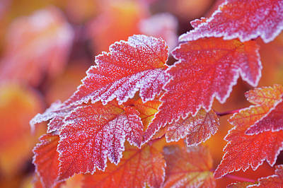 Photograph - Orange Colored Frosted Leaves Of Physocarpus by Jenny Rainbow