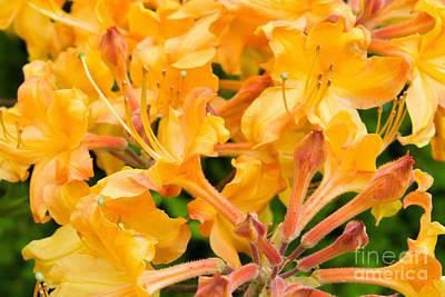 Photograph - Orange Colored Native Azalea Blooming by Vizual Studio