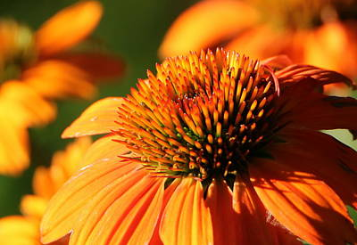 Photograph - Orange Cone Flower At First Light by Sheila Brown