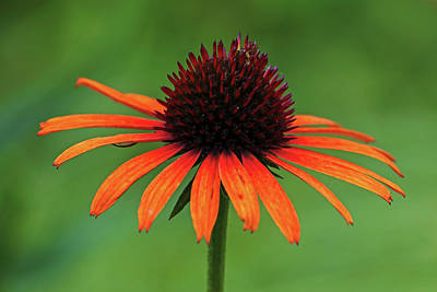 Photograph - Orange Coneflower by Juergen Roth