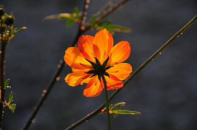 Photograph - Orange Cosmo by Susie Rieple