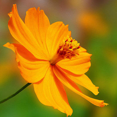 Orange Cosmos Flower Art Print