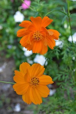 Photograph - Orange Cosmos Flowers by rd Erickson