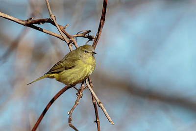 Photograph - Orange-crowned Warbler 2 by Gary Hall