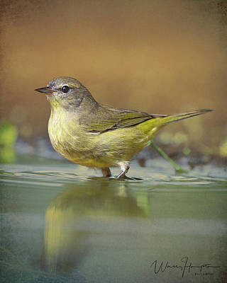 Photograph - Orange-crowned Warbler - 7171,st by Wally Hampton