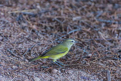 Photograph - Orange-crowned Warbler by Douglas Killourie