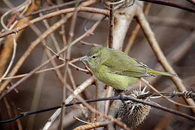 Photograph - Orange-crowned Warbler by Gary Hall
