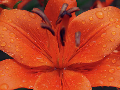Photograph - Orange Crush by Teri Schuster