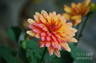 Photograph - Orange Dahlia 20130902_9 by Tina Hopkins