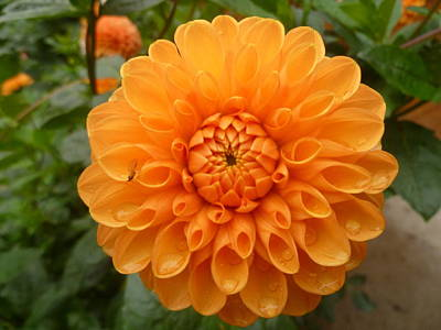 Photograph - Orange Dahlia And Raindrops by Lingfai Leung