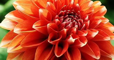 Photograph - Orange Dahlia Blossom by Bruce Bley
