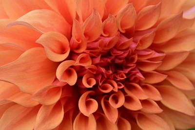 Photograph - Orange Dahlia by Bonnie Bruno