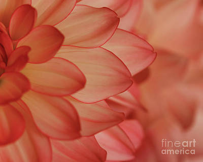 Photograph - Orange Dahlia Cream by Rachel Cohen