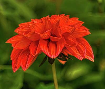 Rhinelander Photograph - Orange Dahlia by Dale Kauzlaric