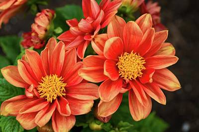 Photograph - Orange Dahlia Delight by Lynn Bauer