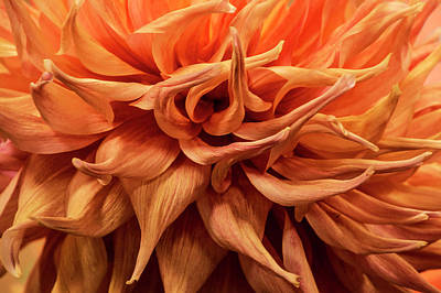 Photograph - Orange Dahlia Flower Closeup by Randall Nyhof