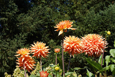 Photograph - Orange Dahlia Flower Garden Art Prints by Baslee Troutman Floral Art Prints
