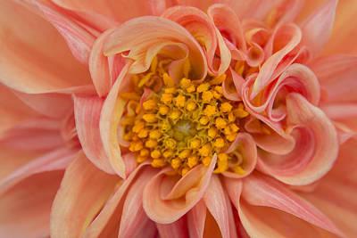 Photograph - Orange Dahlia by Kathleen Clemons