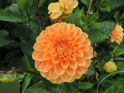 Photograph - Orange Dahlia by Lucinda VanVleck
