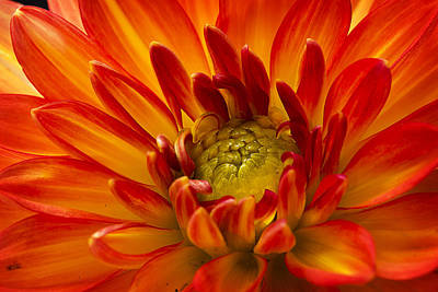 Photograph - Orange Dahlia by Morgan Wright