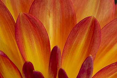 Photograph - Orange Dahlia Petals by Morgan Wright