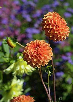 Photograph - Orange Dahlia by Ron Grafe