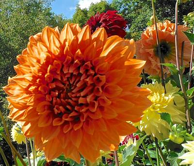 Photograph - Orange Dahlia Suncrush  by Suzanne McDonald