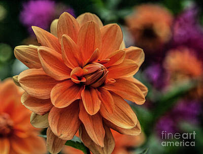 Photograph - Orange Dahlias by Shirley Mangini