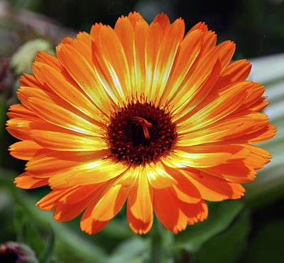 Designers Choice Photograph - Orange Daisy Delight by Don  Wright